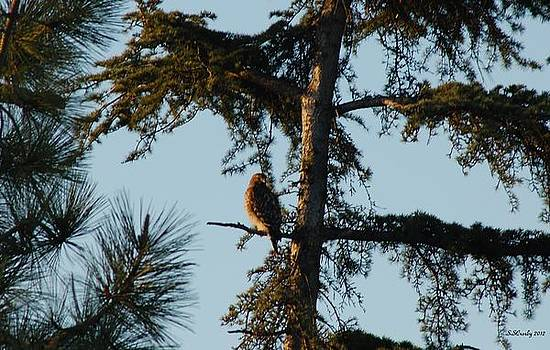 Red Shouldered Hawk Perched at Dusk by Susan Stevens Crosby