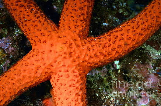 Red Starfish Echinaster sepositus on a rock by Sami Sarkis