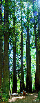 Redwoods by Kenneth Hadlock