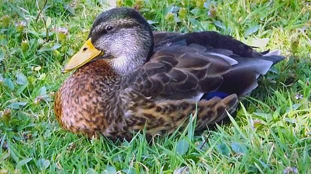 Resting Duck by Michael Sokalski