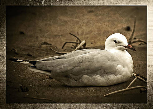 Resting Gull by Tony Steinberg