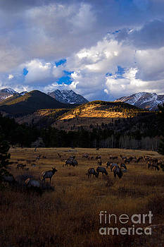 Rocky Mountain Elk by Barbara Schultheis