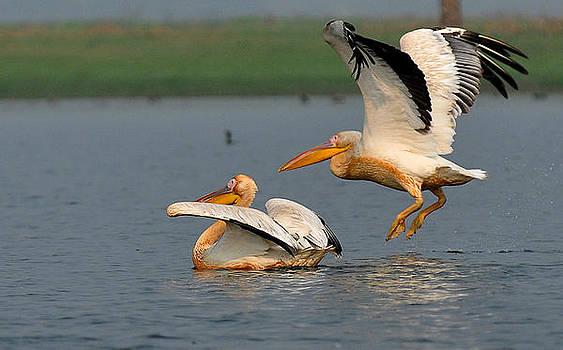 Rosy Pelican by Samsul Huda Patgiri