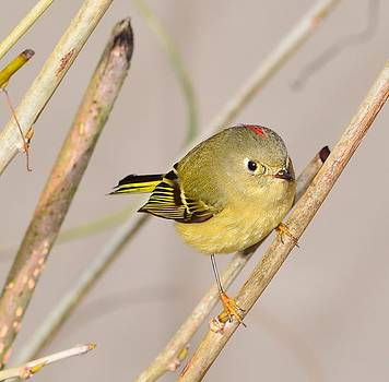 Ruby-Crowned Kinglet #1 by Don Herd