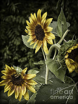 Rustic Sunflower 3 by Cris Hayes