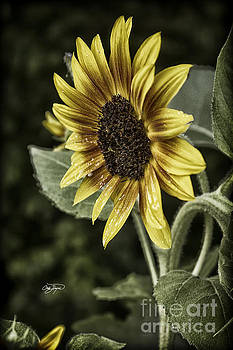 Rustic Sunflower 4 by Cris Hayes