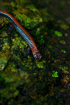 Salamander Stroll  by Wendell Ducharme Jr