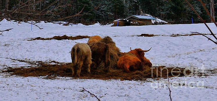 Scottish Highland Cattle by Nancie DeMellia