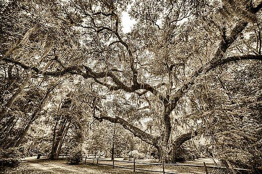Secession Oak by Bill LITTELL