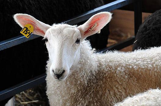Sheep 1754 by Sharon Sefton