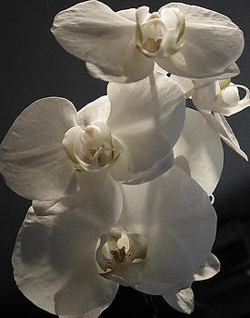 Small White Orchids by Randall Scherrer