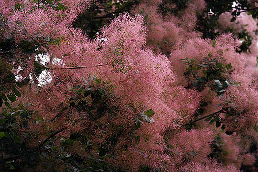 Smoke Bush by David Simons