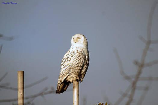 Snowy Owl 8 Feb 2013 by Ed Nicholles