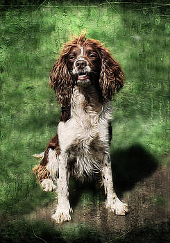 Springer Spaniel Working Dog. by Rosanna Zavanaiu
