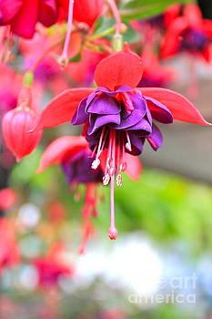 Springle Bells by Jay Nodianos