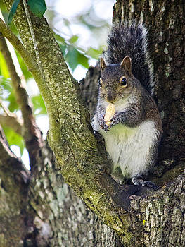 Squirrel eating nut by Renee Barnes