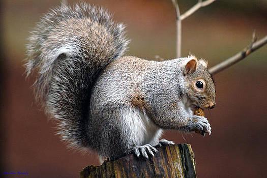 Squirrel On Stump by Ed Nicholles