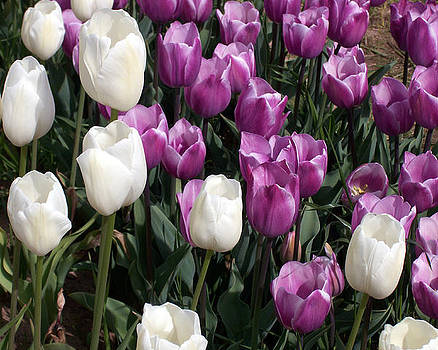 Stunning Purple and Stark White Tulips by Brooke Finley