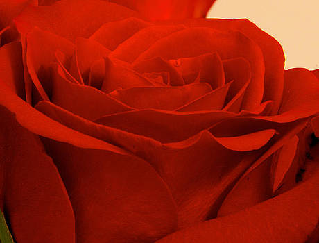 Stunning - Red Rose by WDM Gallery