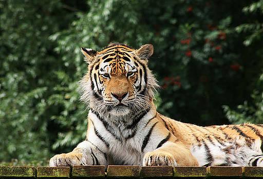 Sumatran Tiger by Gillian Dernie