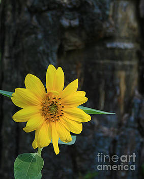 Sunflower Surprise by Kathy DesJardins