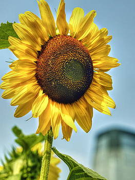 Sunflower by Wayne Gill
