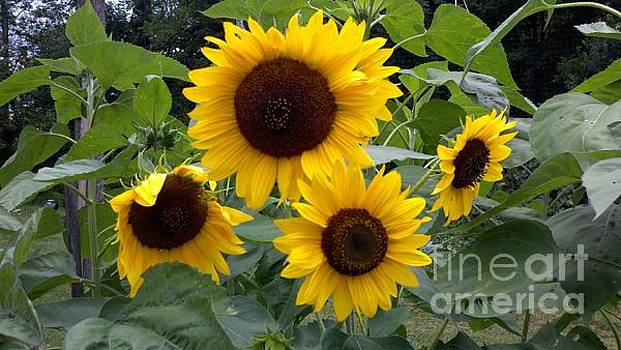 Sunflowers by Polly Anna