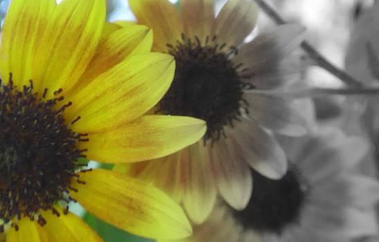 Sunflowers3 by Melissa Jones