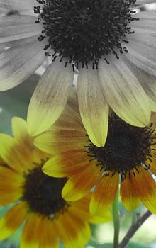 Sunflowers4 by Melissa Jones