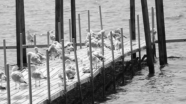 Sunning Seagulls by Michael Sokalski