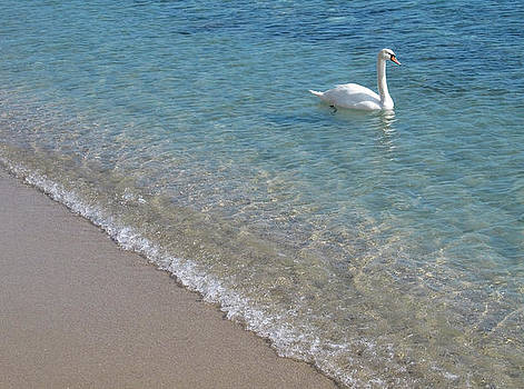 Swan in crystal clear shallow sea water. by Kiril Stanchev