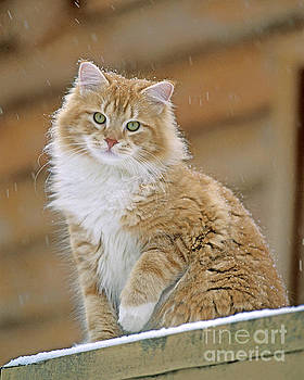 Tabby Cat in the snow by Rolf J Kopfle