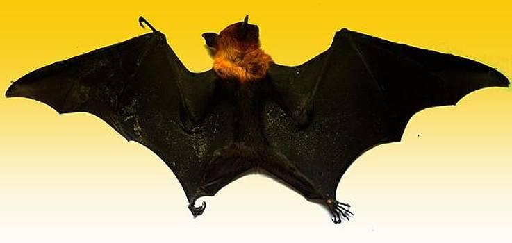 The Bat backside by Salman Ravish