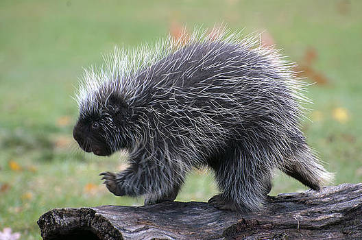 The porcupine walk by Cheryl Cencich
