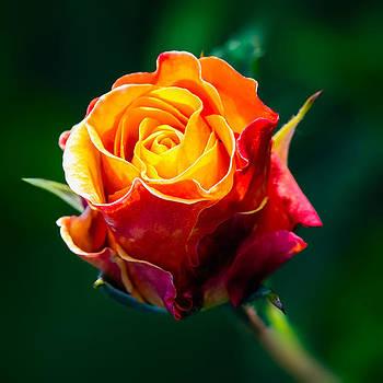 The Rosebud by Tomasz Dziubinski