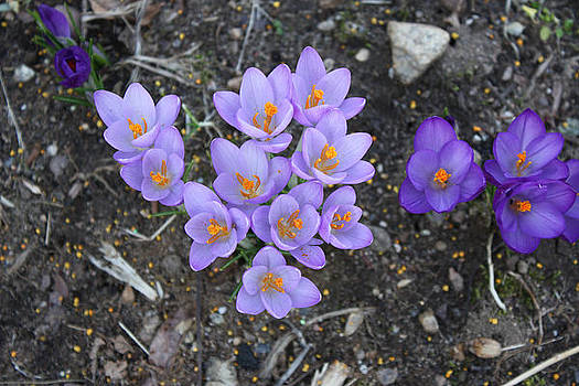 Think Spring - Lilac Crocus - Spring Flowers by Jessica Gale