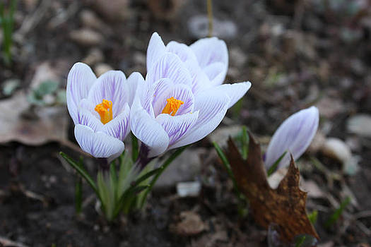 Think Spring - White Crocus Flower by Jessica Gale