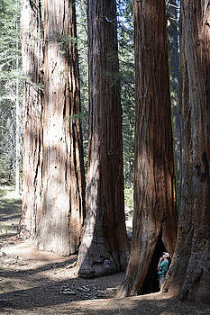 Thinking Among Yosemite's Giant Sequoias by Bruce Gourley