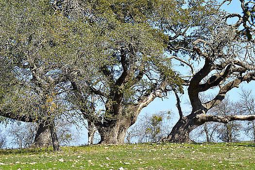 Three Oaks by Teresa Dixon