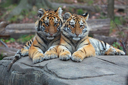 Tiger Cubs by Gordon Donovan