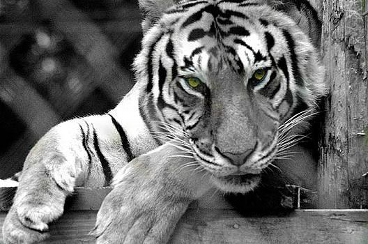 Tiger Eyes by Scott Ware