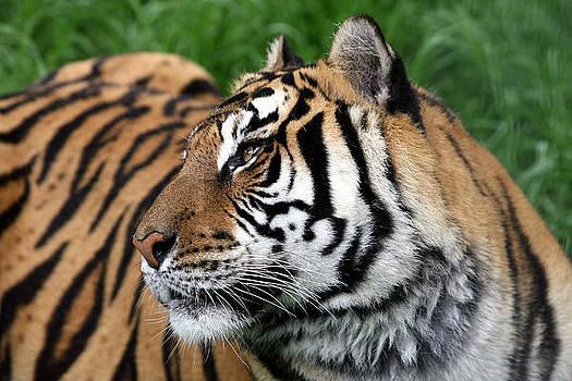 Tiger Profile by David Yunker