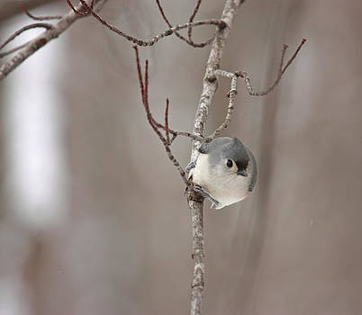 Titmouse Face To Face by Karl Gebhardt