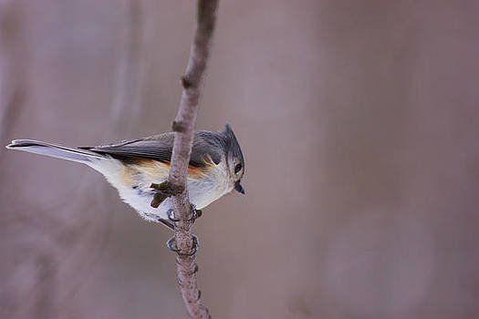 Titmouse by Karl Gebhardt