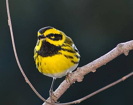 Townsend's Warbler #2 by Don Herd