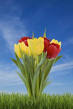 Tulips by Gillian Dernie