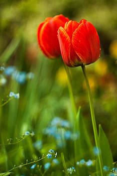 Tulips in garden by Davorin Mance