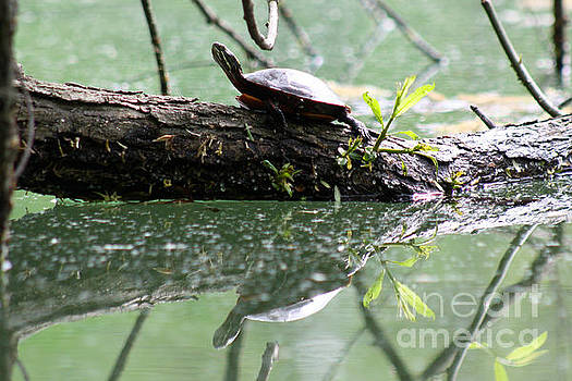 Turtle Reflection by Deb Kline