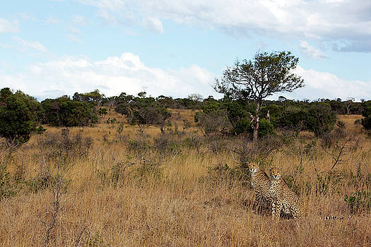 Two Adult Cheetahs Stand On Grassland by Steve Winter