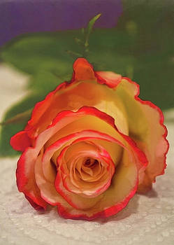 Two Tone Rose by Sandi OReilly